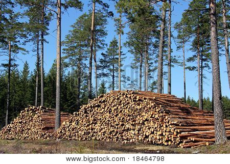 Stacked Pine Logs In Spring Coniferous Forest