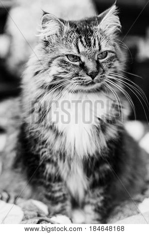 Gray Beautiful Cat With Long Whiskers Long Hair