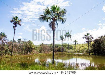 Buriti Tree Into A Lake
