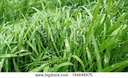 Morning Dew Water Drop On A Green Grass