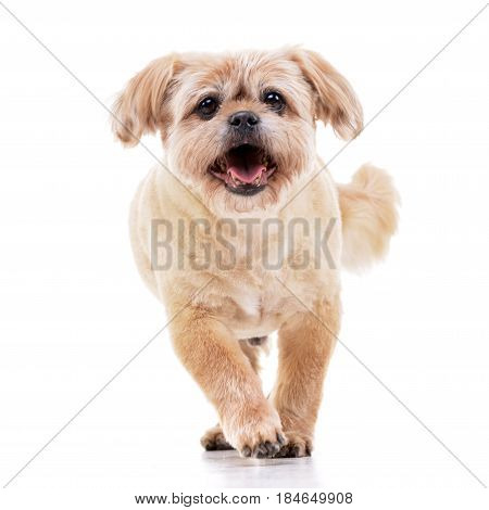 Studio Shot Of An Adorable Chow Chow