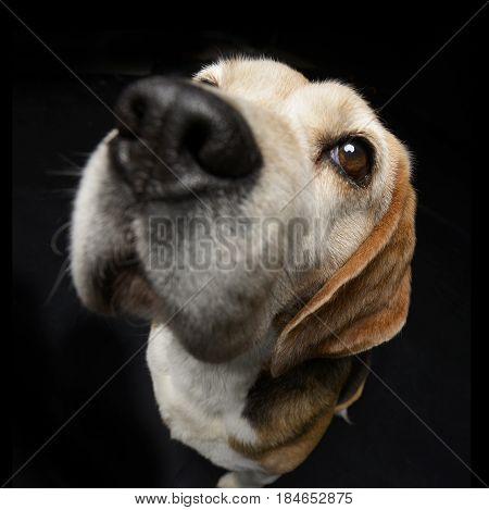Wide Angle Portrait Of An Adorable Beagle