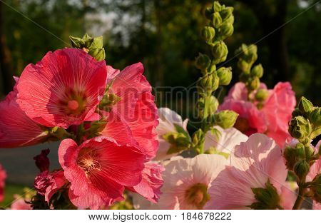 Red and Pink hollyhock flower in garden. Very beautiful flower blooming bright green natural.