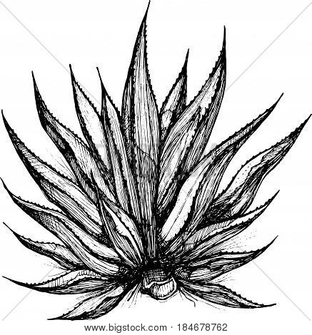 Hand drawn vector illustration or drawing of a maguey plant