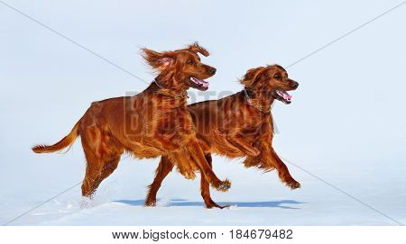 Two Red Irish Setters are running over white snow in winter. Wintertime horizontal outdoors image.