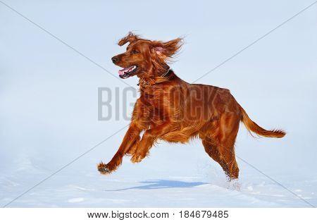 Hunting dog Irish Red setter on winter walk. Wintertime horizontal outdoors image.
