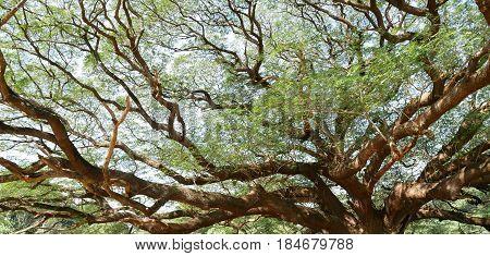 Big tree whose branches extend outGiant treeRain treeSamanea saman (Leguminosae)Minosoideae Kanchanaburi Thailand
