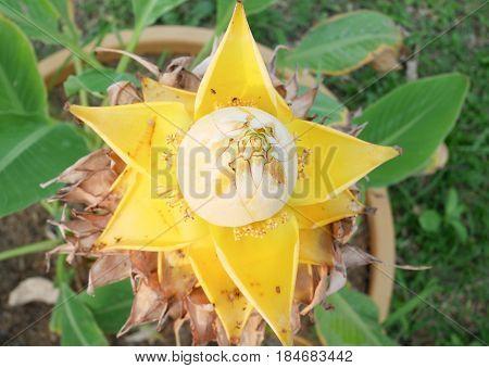 golden lotus banana the long lasting flower close up musella lasiocarpa chinese dwarf banana or chinese yellow banana.