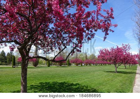 Blooming crabapple trees add Spring color to a city park in Boise, Idaho.