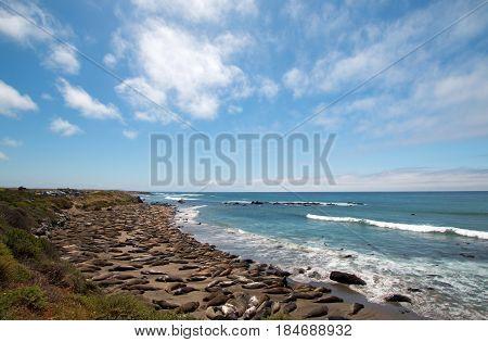 Elephant Seal Colony at Piedras Blancas north of San Simeon on the Central Coast of California USA