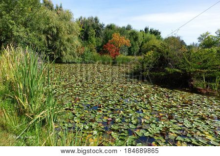 Water lilies on a pond in a city park at Boise, Idaho in the autumn.