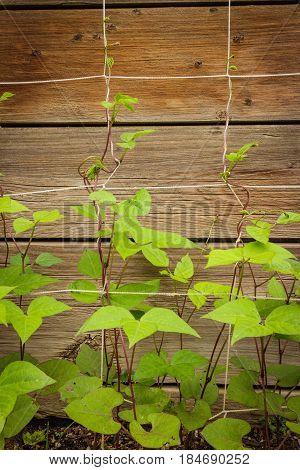 Purple green bean plants growing up a trellis organically in a backyard garden.