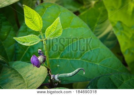 Young purple green bean sprouts growing above a field of lush green leaves in a raised bed garden