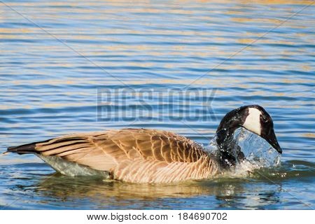 Water dripping off the head of a goose after being submerged.