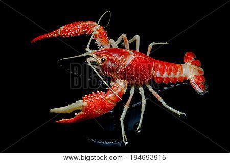 Crayfish Procambarus Clarkii Ghost On Black Background.
