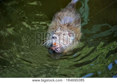 Nutria (myocastor Coypus) In Water