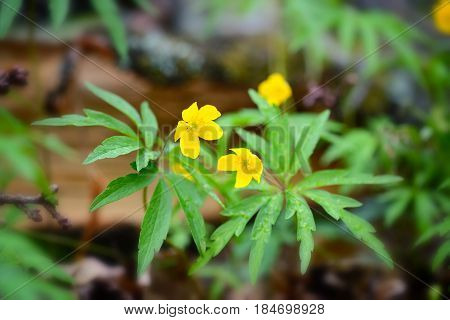 The Yellow Wood Anemone (in Latin: Anemone Ranunculoides) Blooms In The Forest