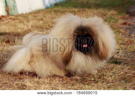 dog breed Pekingese on a dry grass