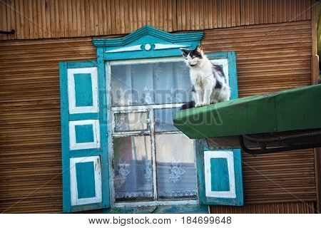 White cat on the background of the wooden window with blue shutters in the old house in russian siberian style.