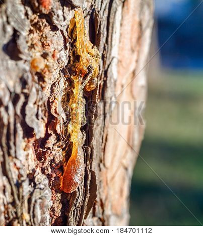 Pine resin. A big glob of pine resin runs down the bark of a large tree. Brown bark with resin of the bright sun. A Sunny day in a pine forest.
