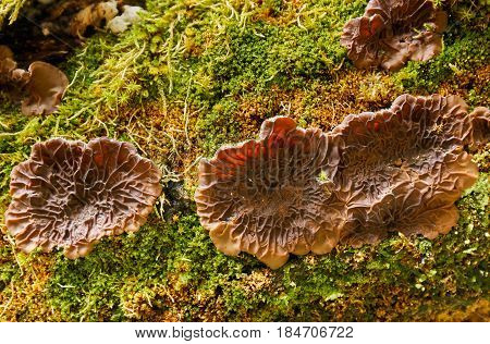 Closeup of a symbiotic fungi on a tree log