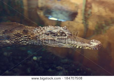 Crocodile in the river water close-up. The mouth of the crocodile peeps out of the dark water in the lake. Wild animals, river predators on the hunt.