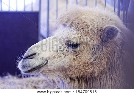 Camels held in captivity in a cage in a zoo