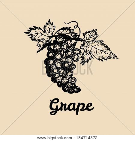 Vector grape illustration. Vine bunch with leaves logo. Hand sketched winemaking element in engraved style