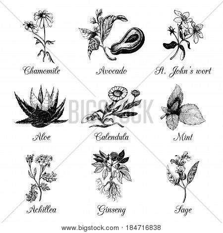 Herbs and spices set. Hand drawn officinalis, medicinal, cosmetic plants. Engraving botanical illustrations for tags. Vector healing wild flowers sketches for labels.