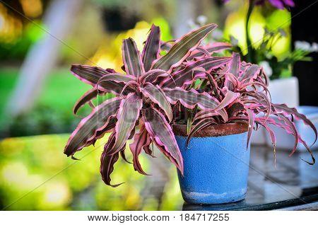 Aechmea Fasciata Plant In Pot On Table