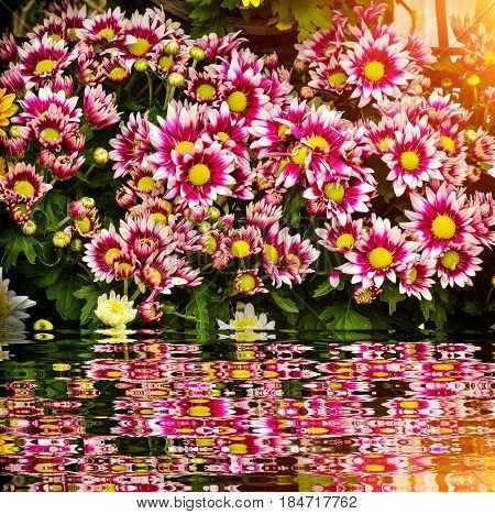 Beautiful Colorful Chrysanthemum Flower With Reflect Near Water