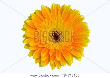 Close Up Beautiful Gerbera Daisy Flower On White Background