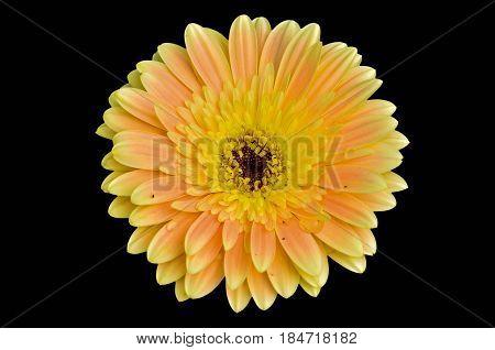 Close Up Beautiful Gerbera Daisy Flower On Black Background