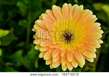 Close Up Beautiful Gerbera Daisy Flower In Garden