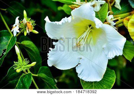 Beautiful White Beaumontia Grandiflora Blooming On Tree