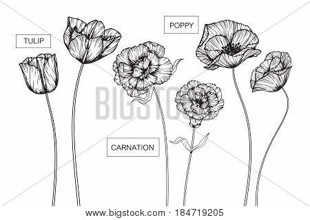 Tulip Carnation and Poppy flowers drawing and sketch with line-art on white backgrounds.