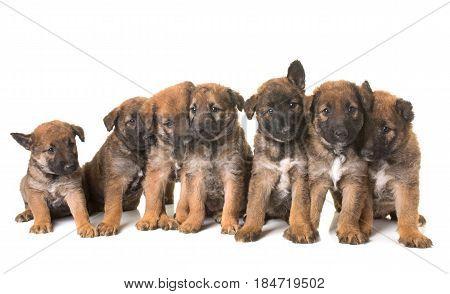 puppies belgian shepherd dog laekenois in front of white background