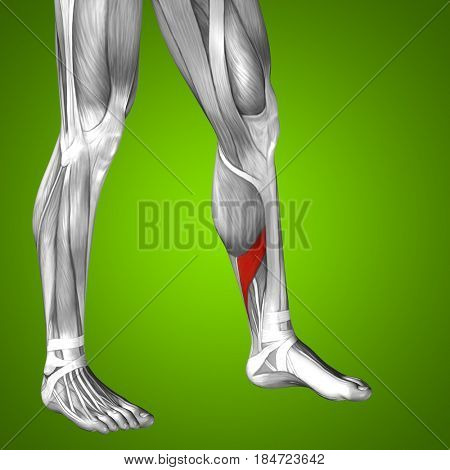 Concept conceptual 3D illustration fit strong front lower leg human anatomy, anatomical muscle isolated green background for body medical health tendon foot and biological gym fitness muscular system