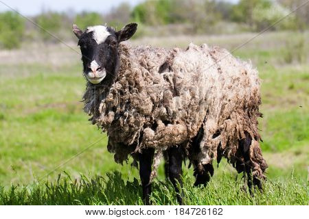 Sheep with dirty wool grazing in a meadow.
