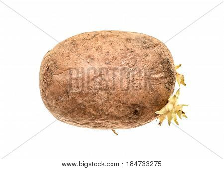 Organic Potato With Sprouts Roots Isolated On A White Background.