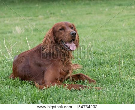 Portrait of Irish setter dog. Selective focus on the dog