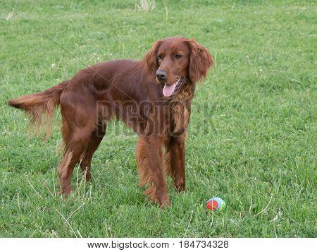 Portrait of Irish setter dog. Selective focus on the dog
