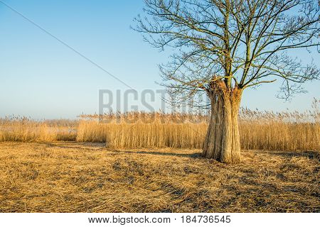 Upright against a tree bundles harvested reed in a flood plain next to a Dutch river are waiting for transport.