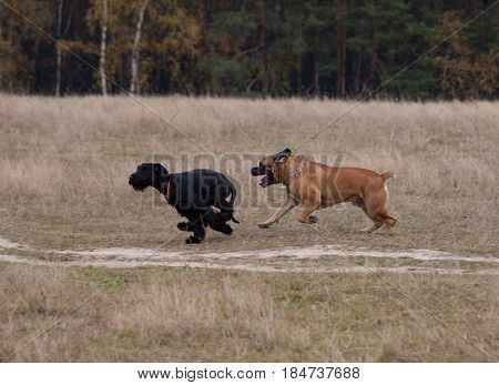 Autumn. Portrait in motion. Giant Schnauzer rare breed of dog - the Boerboel. South African Mastiff.