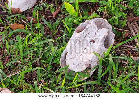 Carcass of a turtle reptile on grass