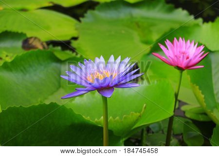 lotus flower or water lilly purple beautiful in nature