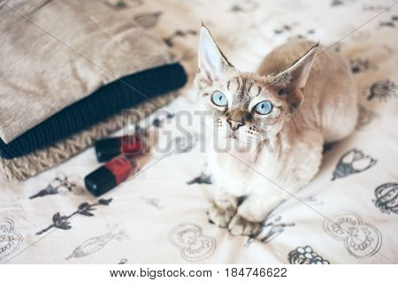 Curious Devon Rex cat with blue big eyes is sitting on a bed. Cat breeds, indoor pet
