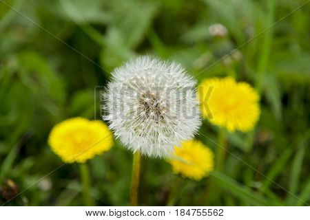 A close-up view of a blooming dandelion and a fluff in the background with blurred yellow dandelions and green grass