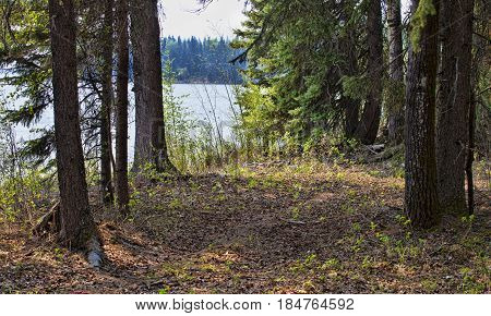 Forest near the edge of a lake in northern Saskatchewan Canada