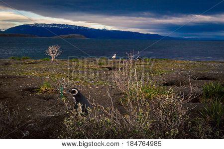 Penguins in the Tierra del Fuego park Argentina